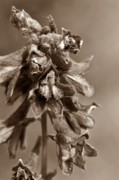 Mario Brenes Simon Metal Prints - Wild flower in sepia Metal Print by Mario Brenes Simon