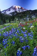 Y120907 Posters - Wild Flowers In The Rainier National Park Poster by Gavriel Jecan