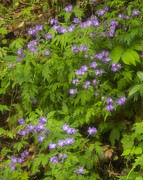 Color Purple Prints - Wild Geranium, (geranium Maculatum) In Spring Print by Jerry Whaley