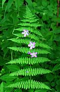 Fern Originals - Wild Geranium through Fern by Alan Lenk