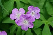 Wildflower Originals - Wild Geranium Triplet  by Alan Lenk