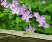Split Rail Fence Acrylic Prints - Wild Geraniums Acrylic Print by Michael Peychich