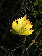 Grape Leaf Prints - Wild Grape Leaf Shadows Print by Warren Thompson