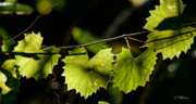 Grape Leaves Framed Prints - Wild Grape Leaves Framed Print by Christopher Holmes