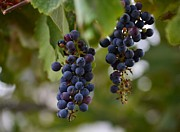 Blue Grapes Photos - Wild grapes close up by Rima Biswas