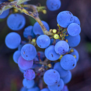 Plant Greeting Cards Prints - Wild Grapes Print by Karen Kolb