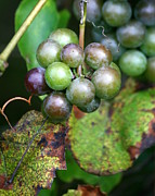 Winery Photography Prints - Wild Grapes Print by Neal  Eslinger
