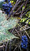 Blue Grapes Framed Prints - Wild Grapes Framed Print by Renate Nadi Wesley