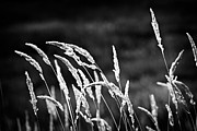 Backlit Photo Framed Prints - Wild grass in black and white Framed Print by Elena Elisseeva