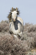 Wild Horse Posters - Wild Grey Stallion Runs Close Poster by Carol Walker