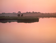 Animal Behaviour Art - Wild Horse Pair Grazing Assateague by Tim Fitzharris