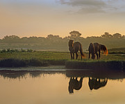 Wild Horse Prints - Wild Horse Pair Grazing At Assateague Print by Tim Fitzharris