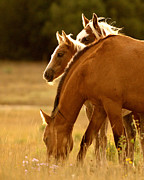 Horse Herd Photo Prints - Wild Horses Grazing Print by Heather Swan