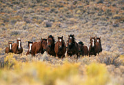 Wild Horse Prints - Wild Horses Print by Inga Spence and Photo Researchers