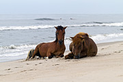 Wild Horses Framed Prints - Wild Horses of Assateague Island Framed Print by Edward Kreis