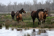 Horse Herd Photo Prints - Wild Horses of Kleinmond Print by Deborah Hall Barry