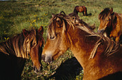Goldenrod Flowers Prints - Wild Horses On Sable Island Print by Justin Guariglia