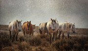 Wild Mustangs Posters - Wild Horses Roam Poster by Heather Swan
