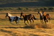 Wild Horses Framed Prints - Wild Horses Running Together Framed Print by Natural Selection Craig Tuttle