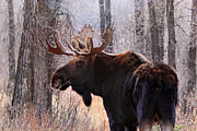 Bull Moose Prints - Wild in the Woods Print by Ann  Van Breemen