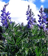 Lupines Framed Prints - Wild Lupines Framed Print by Will Borden