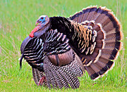 Canon Eos 50d Photos - Wild Merriams Turkey Tom by Karon Melillo DeVega