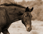 Wild Horse Prints - Wild Mustang Watching Print by Heather Swan