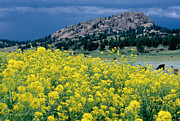 Gold Belt Prints - Wild Mustard Print by James Steinberg and Photo Researchers