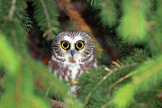 Pine Tree Prints - Wild Northern Saw-whet Owl Print by Mlorenzphotography