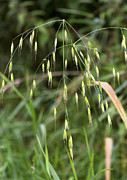 Oat Photos - Wild Oat (avena Fatua) by Bob Gibbons