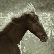 Equine Photo Posters - Wild One Poster by Ron  McGinnis