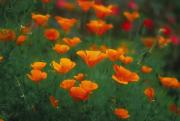 Fresh Green Posters - Wild Orange Poppies Poster by Ron Dahlquist - Printscapes