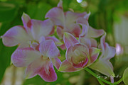 Dendrobium Photos - Wild Orchids by Georgia Fowler