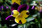 Restaurant Inspired Art Photos - Wild Pansy by Don  Wright