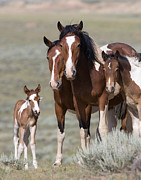 Wild Horses Prints - Wild Pinto Family Print by Carol Walker