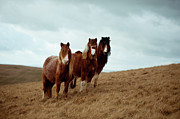 Horse Hill Prints - Wild Ponies In Welsh Countryside Print by Polly Thomas