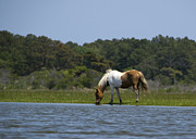Chincoteague Island Prints - Wild Pony Grazing on Assateague Island - Maryland Print by Brendan Reals