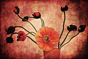 Texturing Framed Prints - Wild poppies Framed Print by Angela Doelling AD DESIGN Photo and PhotoArt