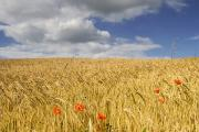 Cloudy Days Posters - Wild Poppies In Wheat Field, North Poster by John Short