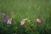 Custer State Park Prints - Wild Prairie Roses Bloom Among Grasses Print by Annie Griffiths