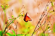 Insects Photo Originals - Wild Red Flutterby by Randy Aveille