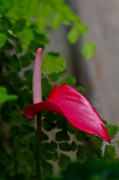 Botanica Photos - Wild Red by Jorge Mejias
