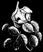 Blooming Drawings Prints - Wild Rose Print by Dariusz Gudowicz