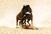 Wild Horses Framed Prints - Wild stallion clash 2 Framed Print by Alistair Lyne