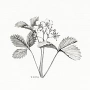 Strawberry Drawings Posters - Wild Strawberry Drawing Poster by Betsy Gray