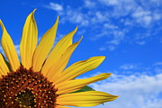Bold Photos - Wild Sunflower by Shane Bechler