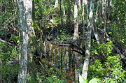 Florida Swamp Prints - Wild Swamp Print by Kenneth Albin