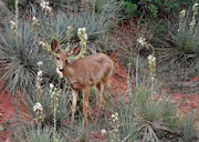 Doe Prints - Wild Times at Garden of the Gods Colorado Print by Christine Till