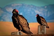 Landscape Photo Originals - Wild Turkey Buzzards by Gus McCrea