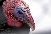Wild Turkey Head Portrait Print by Laurie With